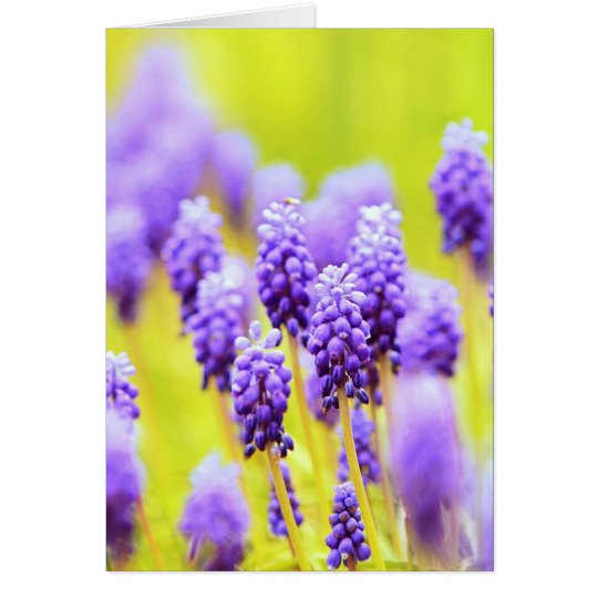 Muscari close-up greeting card