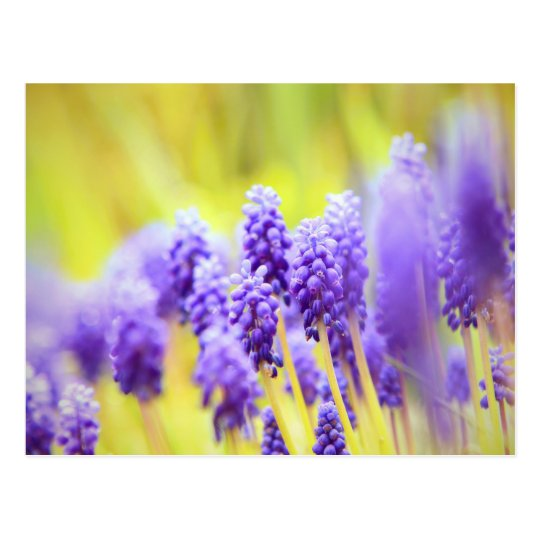 Muscari close-up postcard