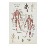 Muscle Anatomy Poster - Anterior and Posterior