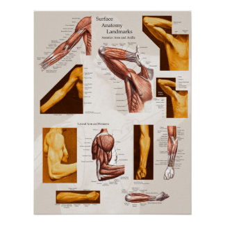 Muscle Surface Anatomy Poster Arm & Shoulder