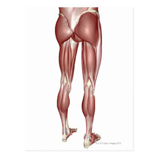 Muscles of the Lower Body Postcard