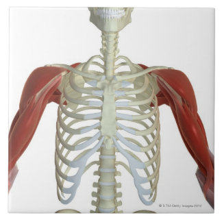 Muscles of the Shoulder 2 Tile