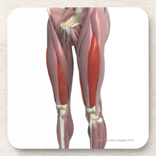 Muscles of the Thigh Beverage Coasters