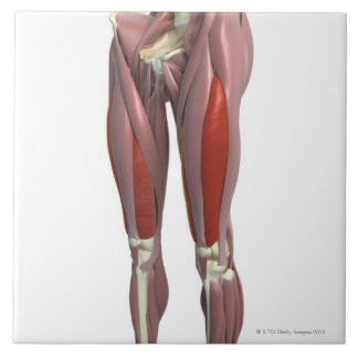 Muscles of the Thigh Large Square Tile