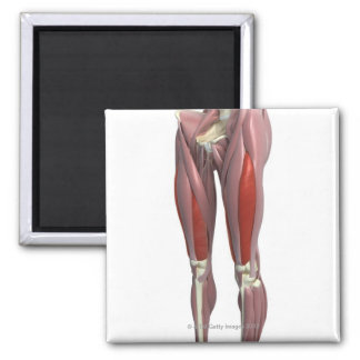 Muscles of the Thigh Fridge Magnets
