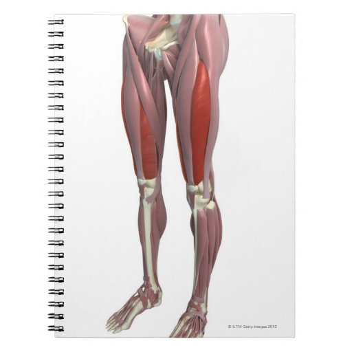 Muscles of the Thigh Note Book