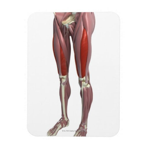 Muscles of the Thigh Vinyl Magnet