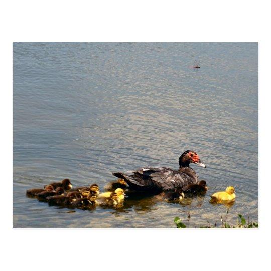 Muscovy Duck Photo Postcard
