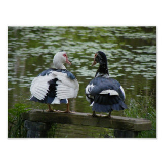 Muscovy Ducks Poster