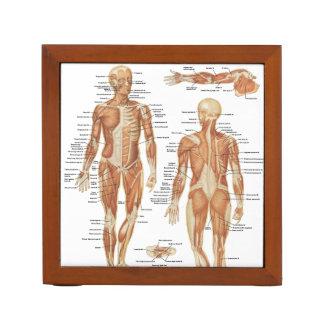 Muscular and Skeletal Anatomy Illustrations Desk Organiser