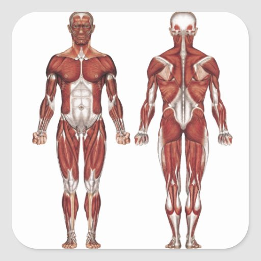 Muscular system, front and back sticker