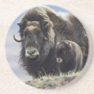 Musk Ox with Calf Coaster