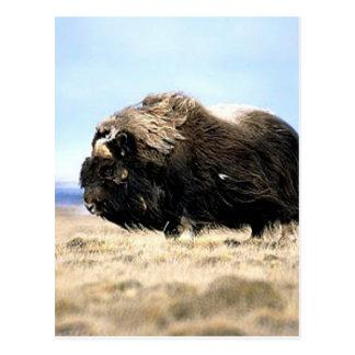 Musk Oxen Postcard