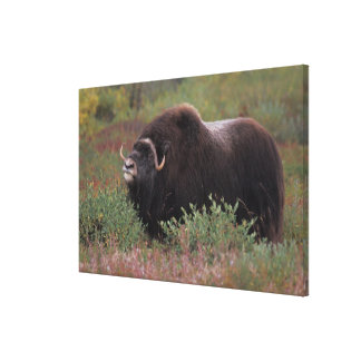 muskox bull scents the air in fall tundra, North Stretched Canvas Prints
