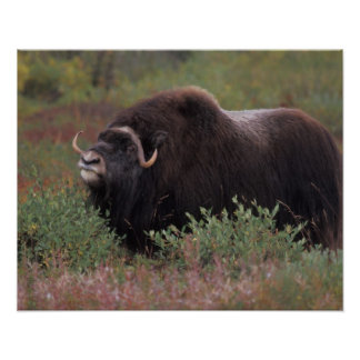 muskox bull scents the air in fall tundra, North Poster