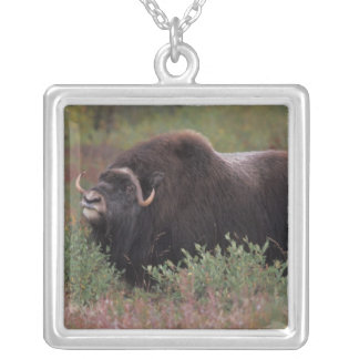 muskox bull scents the air in fall tundra, North Silver Plated Necklace