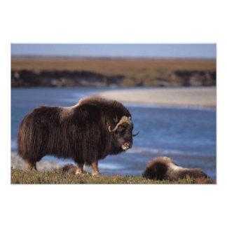 Muskox, cow along a river on coastal plain of photograph