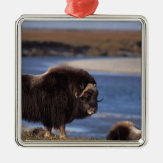 Muskox, cow along a river on coastal plain of Silver-Colored square decoration