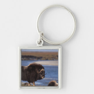 Muskox, cow along a river on coastal plain of Silver-Colored square key ring