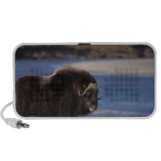 Muskox, cow along a river on coastal plain of mp3 speakers