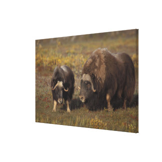 muskox, Ovibos moschatus, bull and cow on the Canvas Print