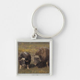 muskox Ovibos moschatus bull and cow on the Key Chains