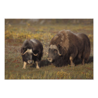 muskox, Ovibos moschatus, bull and cow on the Photo Print