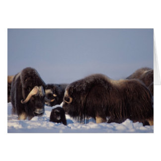 muskox, Ovibos moschatus, bull and cow with Card