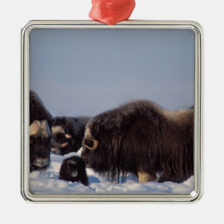 muskox, Ovibos moschatus, bull and cow with Christmas Ornament