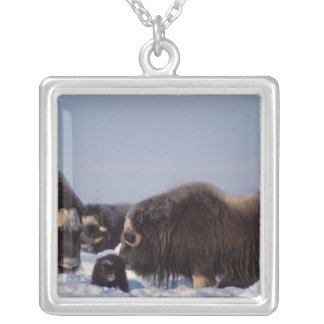 muskox, Ovibos moschatus, bull and cow with Silver Plated Necklace
