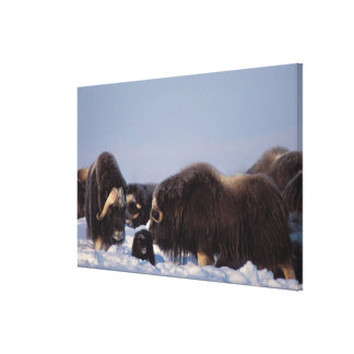 muskox, Ovibos moschatus, bull and cow with Stretched Canvas Prints