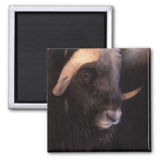 muskox, Ovibos moschatus, bull on the central Magnet