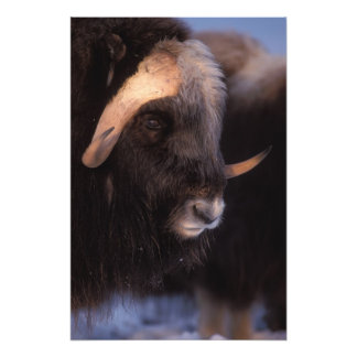 muskox, Ovibos moschatus, bull on the central Photographic Print