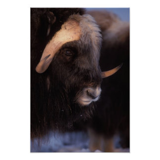 muskox, Ovibos moschatus, bull on the central Poster