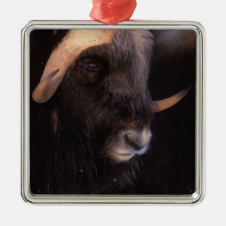 muskox, Ovibos moschatus, bull on the central Silver-Colored Square Decoration