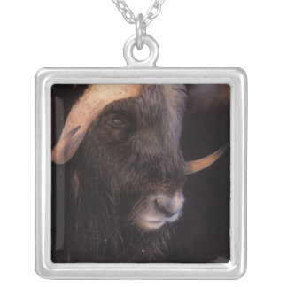 muskox, Ovibos moschatus, bull on the central Silver Plated Necklace