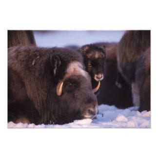 muskox, Ovibos moschatus, cow and newborn calf 2 Photo Print