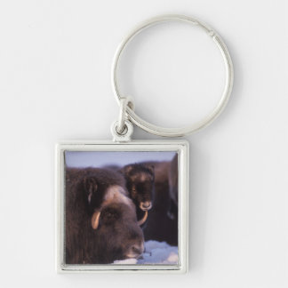 muskox, Ovibos moschatus, cow and newborn calf Silver-Colored Square Key Ring