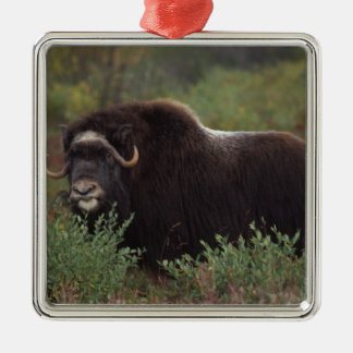 muskox, Ovibos moschatus, cow on the central 2 Silver-Colored Square Decoration