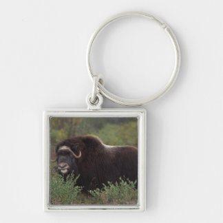 muskox, Ovibos moschatus, cow on the central 2 Silver-Colored Square Key Ring