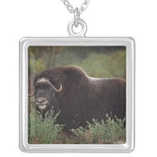 muskox, Ovibos moschatus, cow on the central 2 Silver Plated Necklace