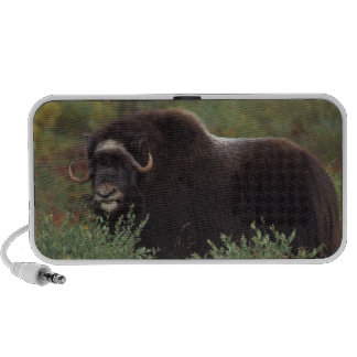 muskox, Ovibos moschatus, cow on the central 2 iPhone Speaker