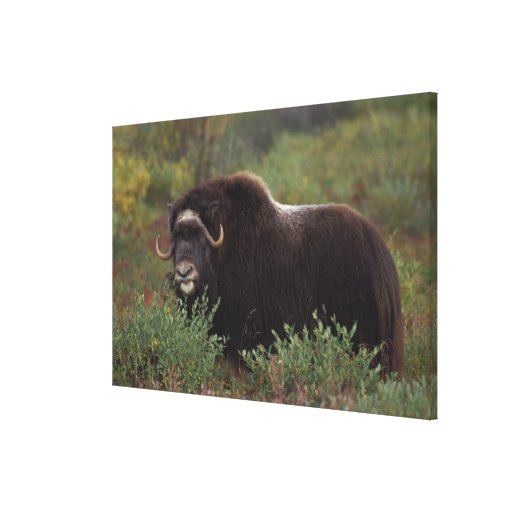 muskox, Ovibos moschatus, cow on the central Gallery Wrapped Canvas