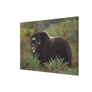 muskox, Ovibos moschatus, cow on the central Canvas Print