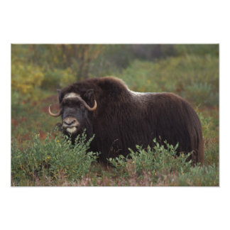 muskox, Ovibos moschatus, cow on the central Photo Print