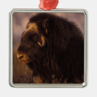 muskox, Ovibos moschatus, cow on the central Silver-Colored Square Decoration