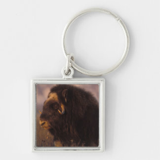 muskox, Ovibos moschatus, cow on the central Silver-Colored Square Key Ring