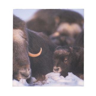 muskox, Ovibos moschatus, cow with newborn, Notepad