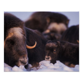 muskox, Ovibos moschatus, cow with newborn, Poster