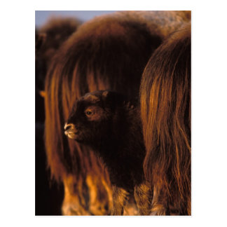 muskox, Ovibos moschatus, newborn calf between Postcard